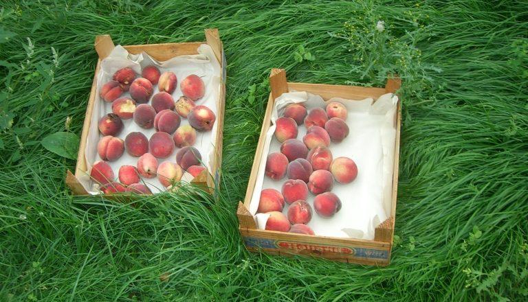Wir haben geerntet: Pfirsiche aus Hannover-Linden