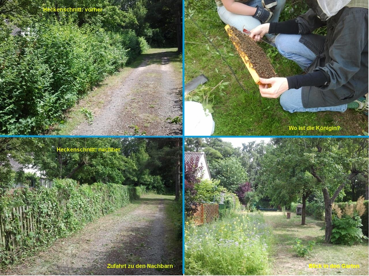 Bienen Heckenschnitt Im Vorher Nachher Vergleich Gemeinschaftsgarten Erntezeit Hannover