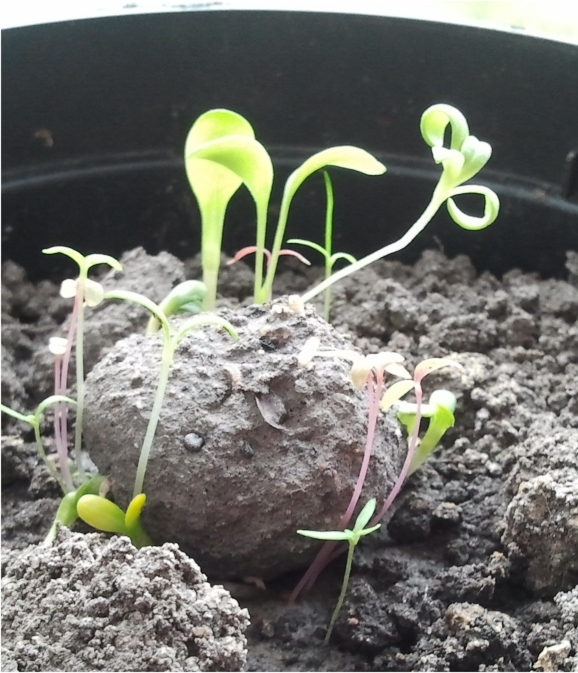 Samenbombe / Samenkugel mit jungen Pflanzen
